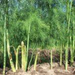 Mô hình trồng măng tây trên đất cà rốt - ky thuat trong va cham soc cay mang tay xanh 150x150