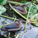 Mô hình nuôi chim le le sinh sản
