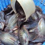 Kỹ thuật nuôi cá sặc rằn