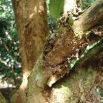 Phòng trừ sâu bệnh hại trên cây bòn bon