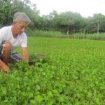Mô hình trồng rau má sạch - song khoe nho trong rau ma sach 1 150x150