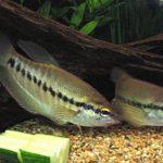 Một số bệnh thường gặp trên cá sặc rằn và cách điều trị