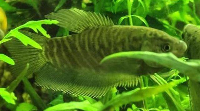 Một số bệnh thường gặp trên cá sặc rằn và cách điều trị - trichopodus pectoralis 672x372 640x354