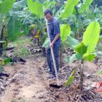 Mô hình trồng chuối làm thức ăn cho gia súc
