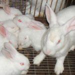 Video hướng dẫn phòng trị bệnh tụ huyết trùng trên thỏ - 560c88bc1b00b 150x150
