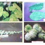 Video hướng dẫn phòng bệnh trên cây chôm chôm