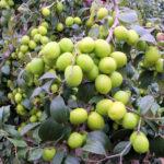 Video hướng dẫn kỹ thuật trồng táo đại - cay tao dai loan 3 150x150