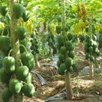 Video hướng dẫn kỹ thuật trồng đu đủ - du du hong phi 150x150