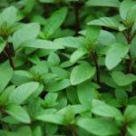Video hướng dẫn kỹ thuật trồng cây húng quế - hung que2 150x150