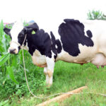 Video hướng dẫn phòng và trị bệnh viêm vú ở bò sữa - ky thuat nuoi bo sua cham soc bo can sua 1446456109 150x150