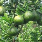 Video hướng dẫn kỹ thuật chăm sóc cây cam sành