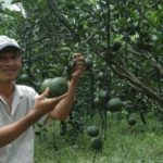 Video hướng dẫn kỹ thuật trồng cam sành trái mùa