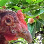 Video hướng dẫn phòng bệnh đậu ở gà