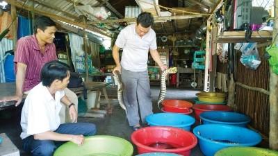 Nuôi rắn ri tượng trong thau nhựa ở Cà Mau