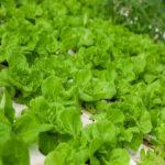 Video hướng dẫn kỹ thuật trồng cây xà lách - rau xa lach 150x150