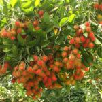 Video hướng dẫn kỹ thuật trồng cây chôm chôm