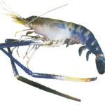 Đặc điểm sinh học của tôm càng xanh - tom cang xanh1 jpeg 150x150