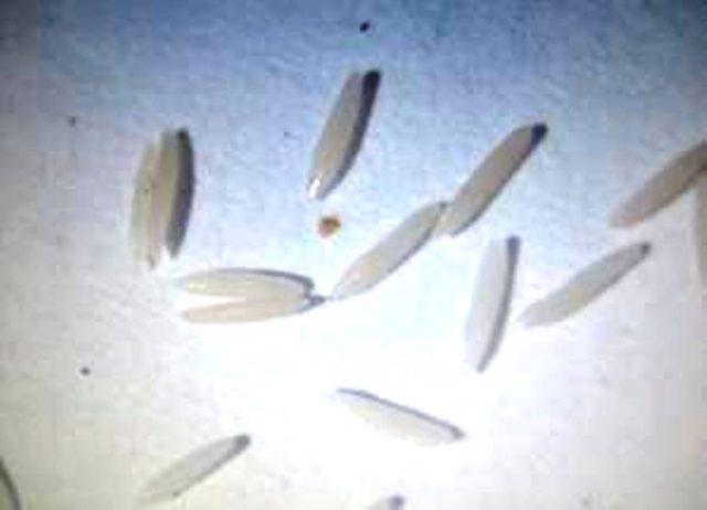 Các loại ve sầu gây hại trên cây cà phê - trung cua loai ve sau moi 640x462
