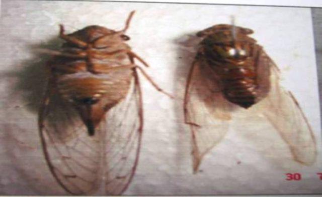 Các loại ve sầu gây hại trên cây cà phê - ve sau lung van haphsa bindusa distant 640x393
