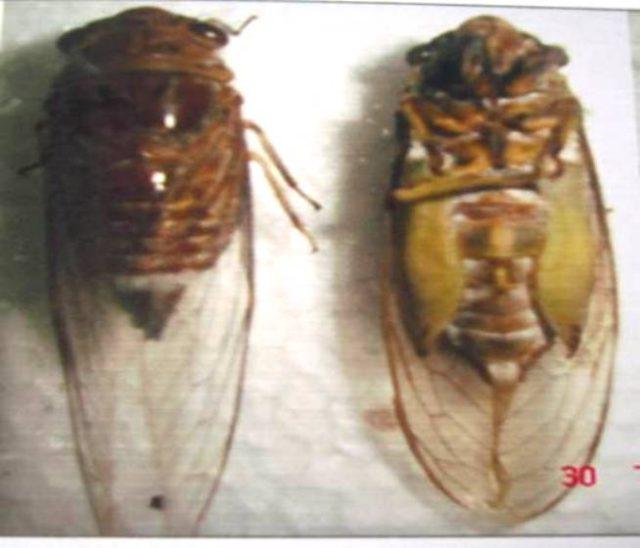 Các loại ve sầu gây hại trên cây cà phê - ve sau phan trang dundubia nagarasagna distant 640x548