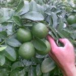 Video hướng dẫn Kỹ thuật trồng chanh trái vụ