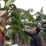 Quy trình trồng chuối mốc