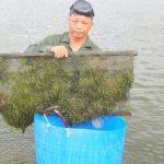 Mô hình nuôi kết hợp tôm sú với hải sâm và rong biển cho thu nhập 150 triệu đồng/ha