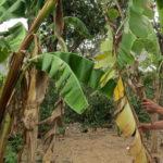 Bệnh vàng lá trên cây chuối và giải pháp phòng ngừa - benh vang la tren cay chuoi 150x150