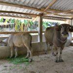 Cách xây dựng chuồng nuôi trâu