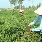 Cách xử lý ớt bị héo rũ lá, chết cây hàng loạt