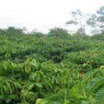 Chăm sóc cà phê có mưa trái mùa tại Đông Nam Bộ và Tây Nguyên