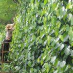 Cách chăm sóc cây cà phê, hồ tiêu và cây ăn quả sau hạn hán ở vùng Tây Nguyên và Nam Trung Bộ - cham soc cat canh tao tan kip thoi de giup cay tieu tap trung dinh duong chuan bi ra hoa dau qua tot 150x150