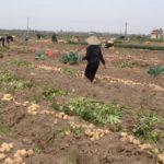 Kinh nghiệm trồng khoai tây vụ đông - kinh nghiem trong khoai tay vu dong 150x150