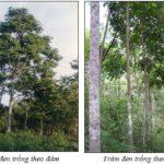 Kỹ thuật trồng cây Trám đen