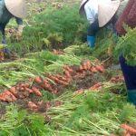 Một số biện pháp kỹ thuật nâng cao năng suất, chất lượng cà rốt