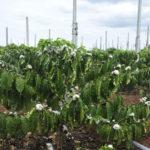 Nguyên nhân và cách khắc phục cây cà phê ra hoa sớm - nguyen nhan va cach khac phuc cay ca phe ra hoa som 150x150