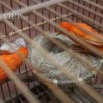 Nuôi yến cảnh – loài chim quý tộc hái ra tiền