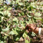 Quy trình quản lý bọ xít, muỗi và bệnh thán thư hại điều