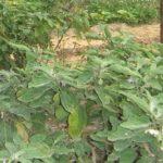 Kinh nghiệm trồng cà (cà pháo, cà bát, cà gém, cà dài) hiệu quả - ruong ca vu som dang giai doan ra hoa dau qua 150x150