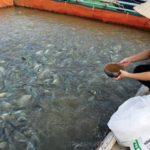 Cách chăm sóc cá rô phi bằng tỏi