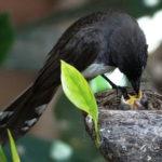 Cách nuôi chim rẻ quạt con khoa học