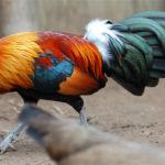 Cách nuôi và chăm sóc gà rừng siêu lợi nhuận