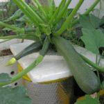 Cách trồng cây bí ngồi tại nhà đơn giản - 'thần dược' giải nhiệt ngày hè - cach trong cay bi ngoi tai nha don gian than duoc giai nhiet ngay he 16770 150x150