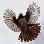 Chim xòe quạt – chim rẻ quạt