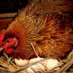 Cách nuôi gà ta đẻ trứng kiếm tiền triệu mỗi ngày dễ như chơi - ky thuat nuoi ga ta de trung phai biet cach lam o de sao cho an toan 150x150