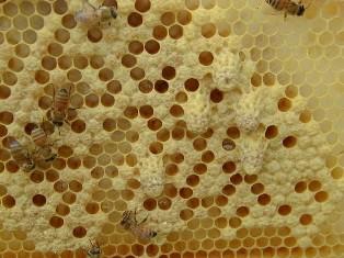 Điều trị thối ấu trùng ong mật - au trung ong 2