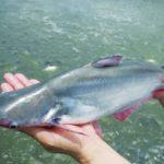Hướng phát triển mới của mô hình nuôi cá bông lau