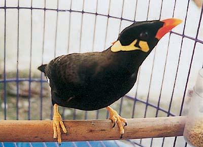 Những điều cơ bản cần biết để nuôi chim sáo - chim sao