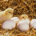Kỹ thuật nuôi gà con trong tuần đầu tiên sau nở