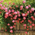Kinh nghiệm trồng và chăm sóc cây hoa hồng leo
